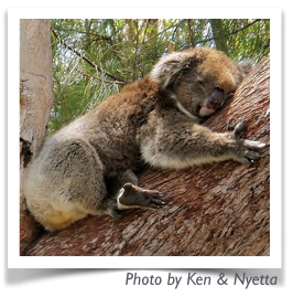 Tree hugging koala 2