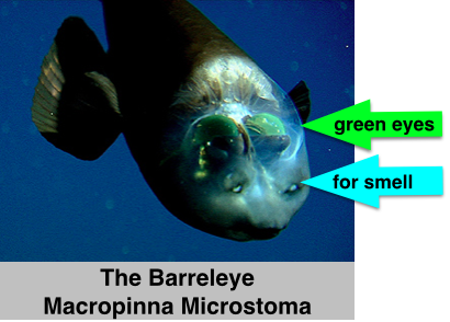 The eyes and olfactory organs of the barreleye